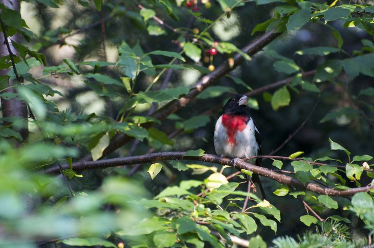 Cardinal à poitrine rose mâle