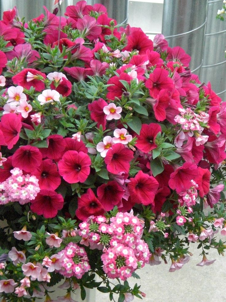 petunias+in+planters | Mixed Container with Petunias, Calibrachoas and Verbena