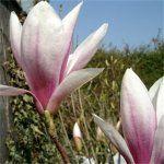 Magnolia Susan £40