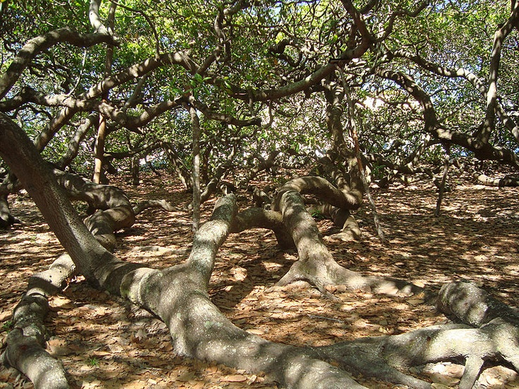 Pirangi Cashew Tree, Brazil. Maior cajueiro do mundo or Cajueiro de Pirangi (en: world's largest cashew tree or cashew tree of Pirangi) is a cashew tree in Pirangi do Norte, Rio Grande do Norte, Brazil. It covers an area of about 8,400 square metres, the size of 70 normally sized cashew trees. It has a circumference of 500 meters. It is now difficult to distinguish the initial trunk from the rest of the tree. Photo via wikipedia.