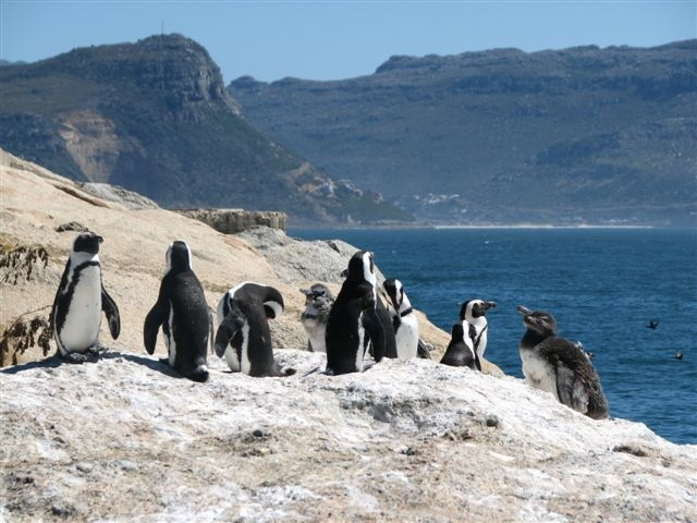 African Penguins, Boulders Beach  #SimonsTown #CapeTown #SouthAfrica  Africa.. In Your Wildest Dreams  http://www.southernskyadventures.com/