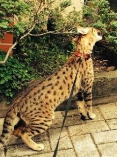 Savannah cats for sale - Savannah cat breeder with F1, F2, F3, F4, F5 and SBT hybrid savannah kittens for sale!