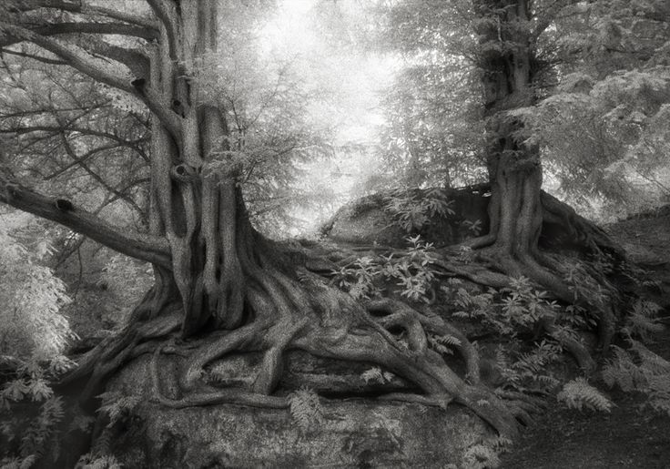 The Yews of Wakehurst in England