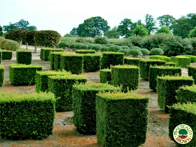49 best taxus images on pinterest hedges natural for Specimen evergreen trees small