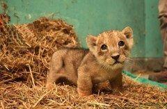 ペルーの首都リマにある動物園でライオンの赤ちゃんが生まれたんですって 飼育員さんと遊んだり自分の身長より高い段差をよじ登ったりして元気に育ってるんだって うるうるの瞳がめっちゃ可愛い(ω) tags[海外]