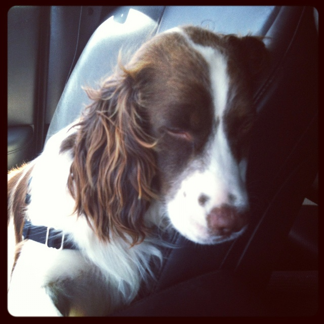 """Click visit site and Check out Best """"English Springer Spaniel"""" T-shirts. This website is top-notch. Tip: You can search """"your name"""" or """"your favorite shirts"""" at search bar on the top."""