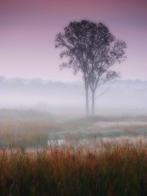 Misty autumn dawn  Lonely trees lost in a foggy meadow. Sleepy Hollow, Illinois.