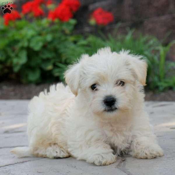 Betty Westiepoo Puppy For Sale In Pennsylvania Westiepoo Westie Puppies Puppies For Sale