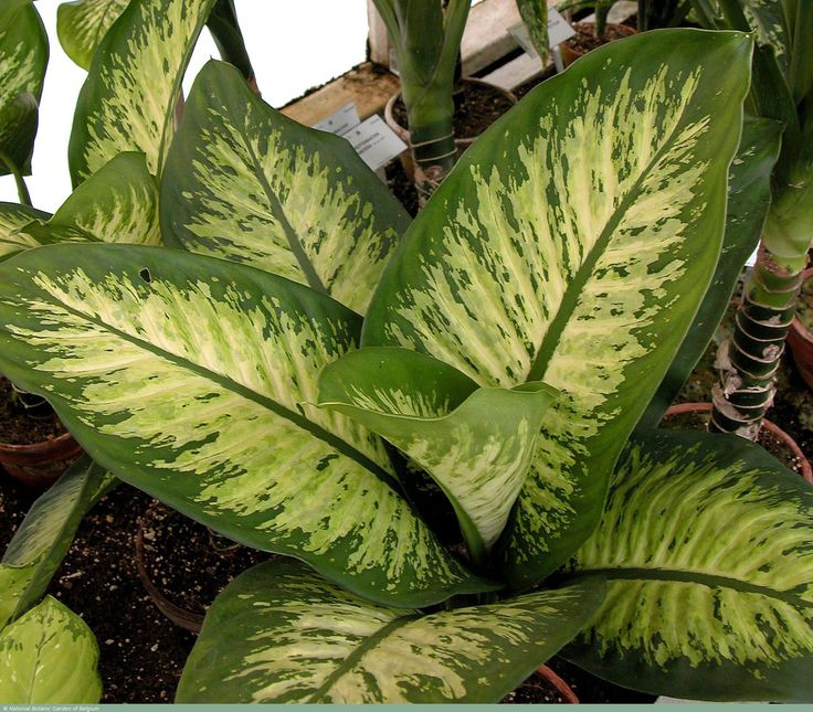 Dieffenbachia amoena difembaquia gu a de plantas for Planta ornamental venenosa dieffenbachia
