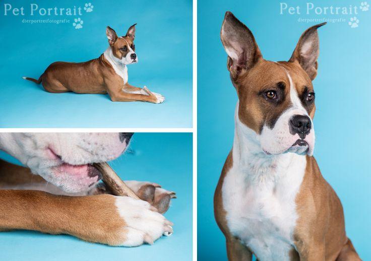 Hondenfotografie Hillegom - Fotoshoot Boxer - Amerikaanse Staffordshire Terrier mix-10