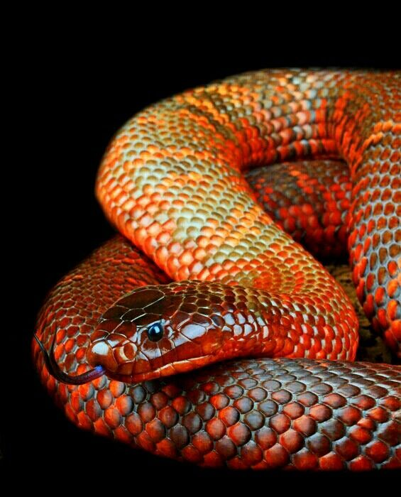 Collett's Snake (Pseudechis colletti)