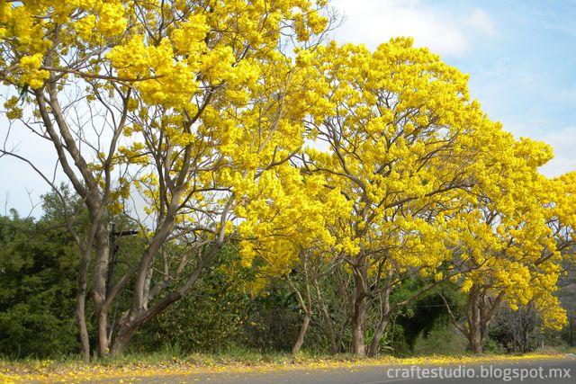 Primaveras en la carretera Colima-Manzanillo.