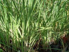 Cymbopogon citratus - citronová tráva, lemongrass, voňatka citronová Zahradnictví Krulichovi - zahradnictví, květinářství, trvalky, skalničky, bylinky a koření