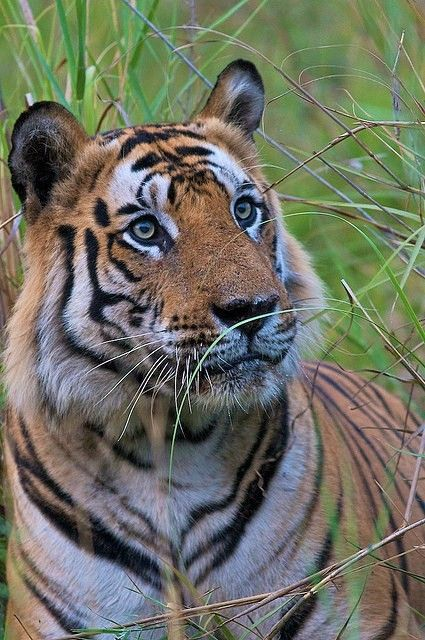 894 best images about ANI TIGERS on Pinterest | Snow tiger ...