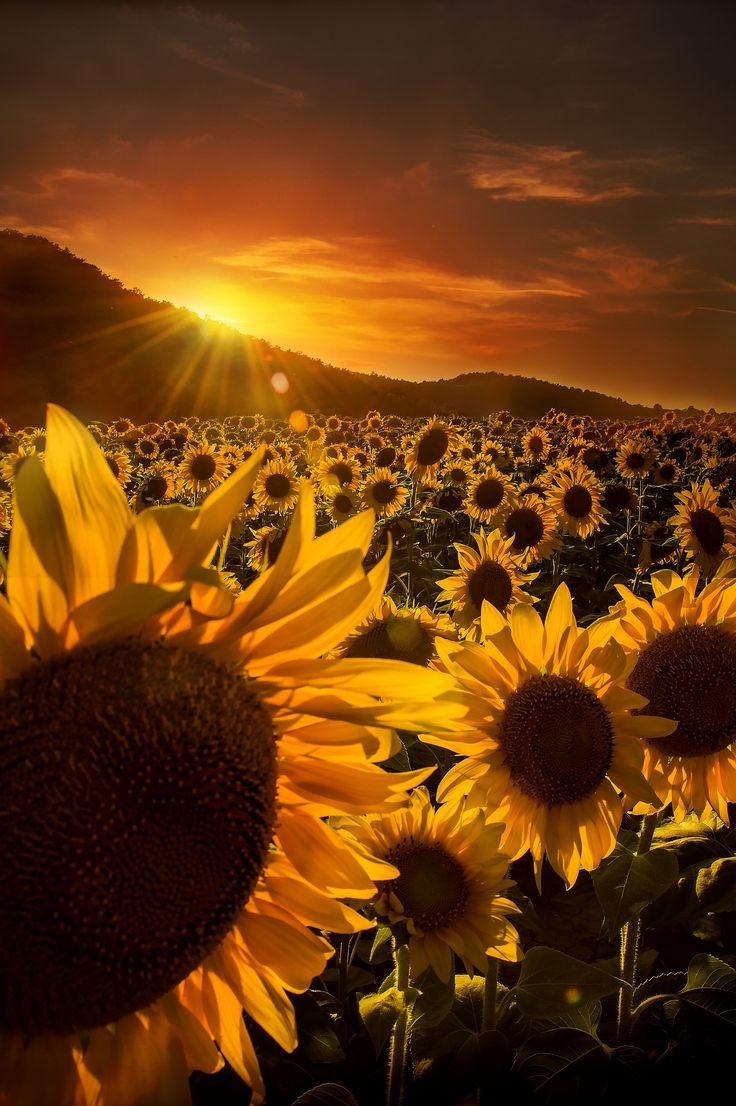 """""""No, the heart that has truly loved never forgets, But as truly loves on to the close, As the sunflower turns on her god when he sets The same look which she turned when he rose!"""" – Thomas Moore"""