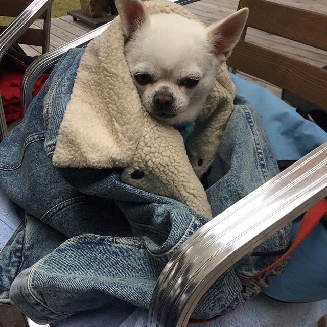 寒がり  さすがメキシコ出身🇲🇽 . . #チワワ#カフェ #マザームーン#お出掛け #パン大好き #ランチ #愛犬 #老犬#スムチー#スムースチワワ#大好き#可愛い
