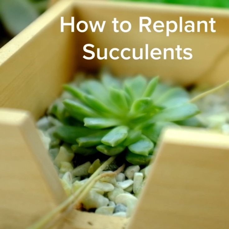 how to replant succulents green things replanting succulents planting succulents replant. Black Bedroom Furniture Sets. Home Design Ideas
