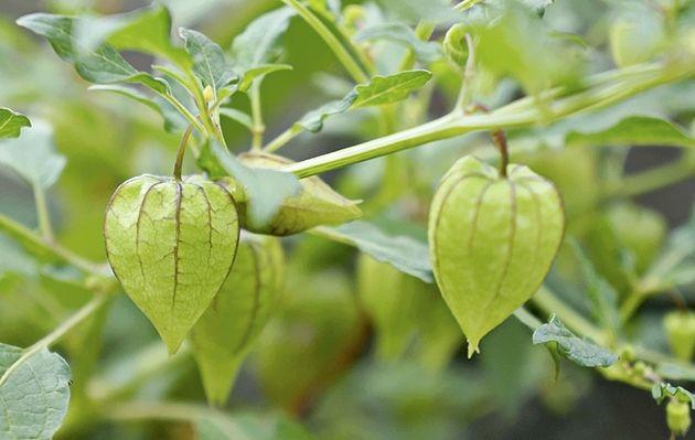 Ciplukan, Herbal Kaya Manfaat http://jitunews.com/read/20058/ciplukan-si-mungil-kaya-faedah #Jitunews
