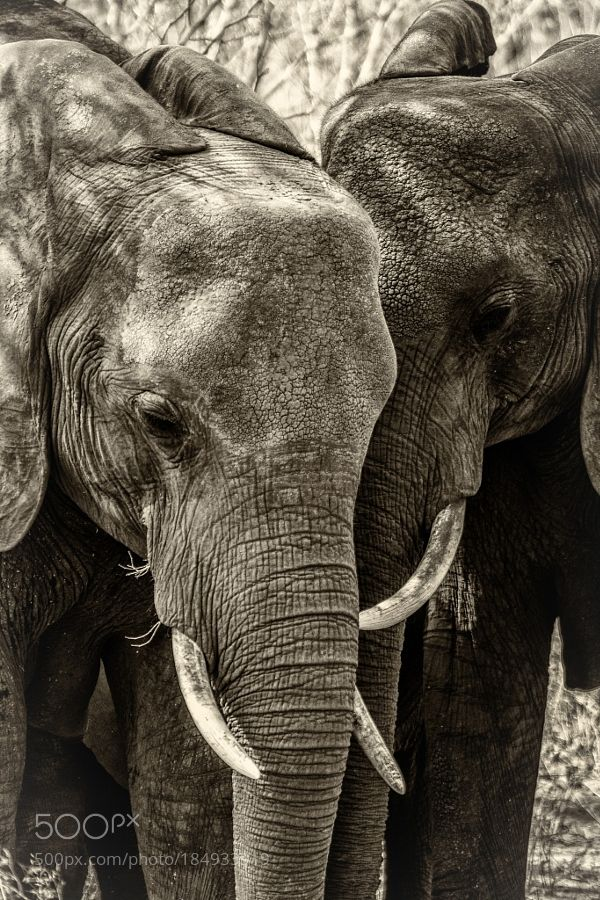 Elephant Close Up by LukeWhitman