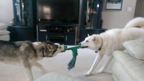 Advice From Husky Owners Siberian Husky Dog Husky Puppy Husky