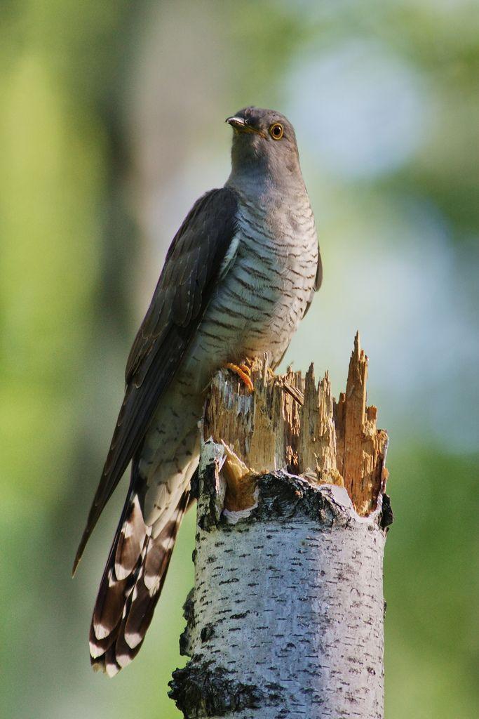 Cuculus canorus - Common Cuckoo