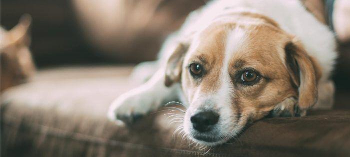 Cáncer de glándula anal en perros Adenocarcinoma, saco anal/perianal en perros. Mientras que el cáncer de glándula / saco anormal (adenocarcinoma) no es común, es una enfermedad invasiva que generalmente no tiene una perspectiva positiva. Usualmente visto como un crecimiento rectal (masa) en el animal, también es común encontrar la enfermedad en losganglios linfáticos. Debido …