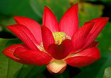 """The magnificent Red Lotus awakens and blooms in the evening, showing its independence from the sun, rising from the water and unfolding gradually, one petal at a time, until full-bloom. Known as: """"The passion flower of the night."""