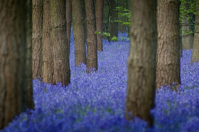 Bluebell forest in Warwickshire, England. Photo by Gethin Thomas