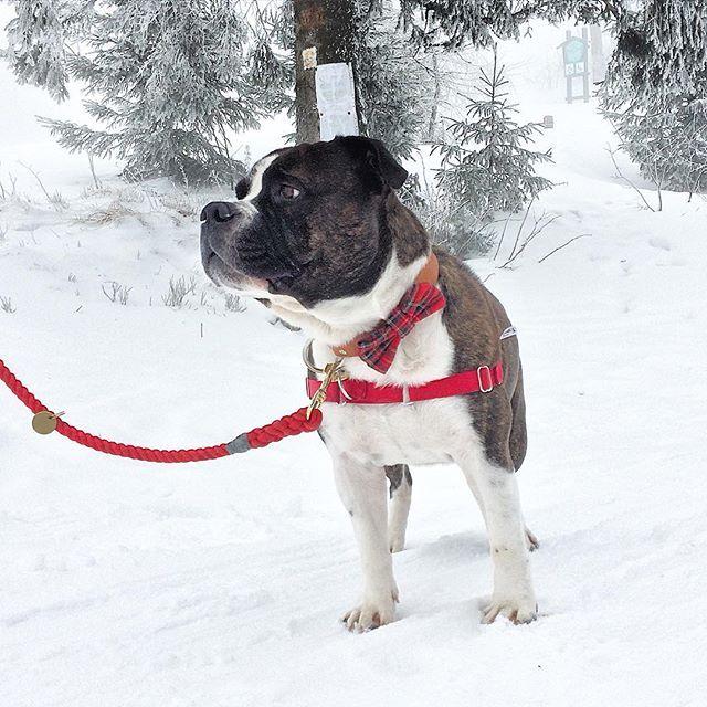 Konečne sneeeeeeh ❄️☃ #pes #pesbrunosk #cane #dog #hund #hafan #havo #panpes #psizivot #pejsek #slovakdog #slovakiadogs #czechdog #slovakia #dnescestujem #sneh #hory #nizketatry #certovica #dogbowtie #hound