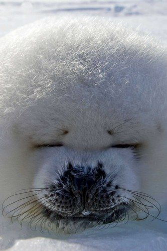 It's a great big ball of adorable fluff - known in the nature world as a harp seal.