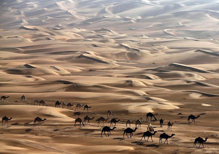 Credits: KARIM SAHIB/AFP/Getty ImagesCammelli tra le dune di sabbia del deserto di Liwa, 220 km a ovest di Abu Dhabi, 23 novembre 2013.