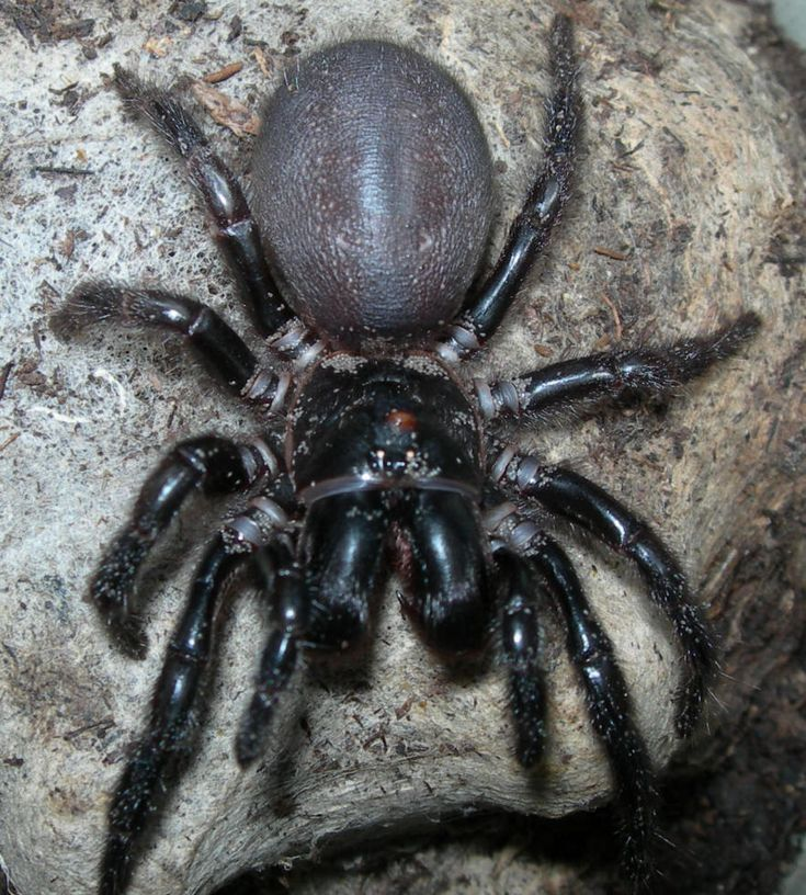 Funnelweb Spiders at Spiderzrule - the best site in the world about spiders, redbacks, huntsmen, garden orb weaver, funnel web, black widow, recluse, hobo spider, daddy long legs.