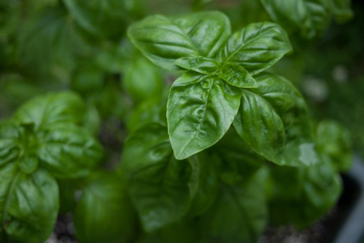 7 tips for growing mad giant BASIL plants   Prune that bitch! Pruning leads to more basil. Start pruning the top leaves at around six inches tall and continue to prune as it gets bushier. Also, pinch off any flowers that you see so they don't go to seed. That will lead to bland and sparse plants.