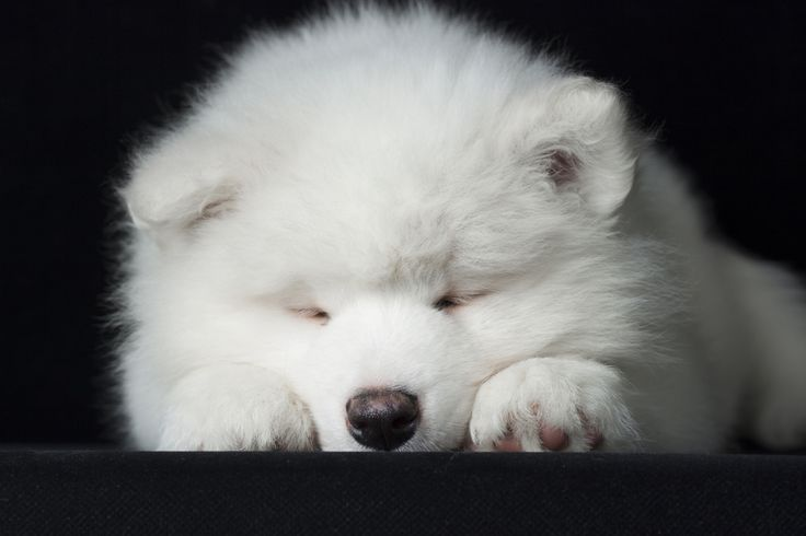 Samoyed Puppies For Sale In Minnesota