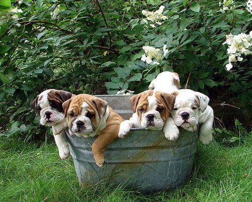 Bucket of Bulldogs, anyone?Tubs, Buckets, English Bulldogs Puppies, English Bulldog Puppies, Pets, Baby Bulldogs, Animal, Bull Dogs, Bath Time