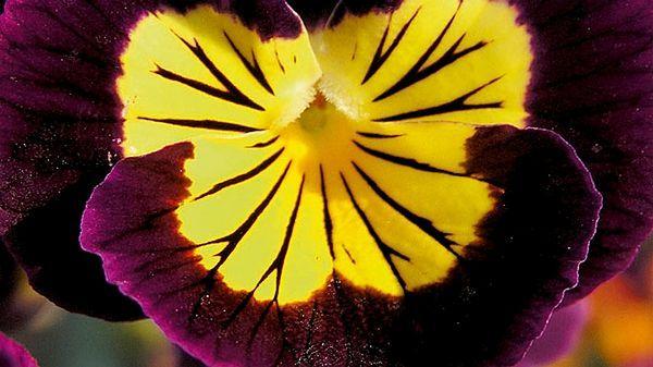 Viola cornuta F1, kultivar Rocky mix: kvete dlouhodobě, je odolná vůči špatnému počasí.