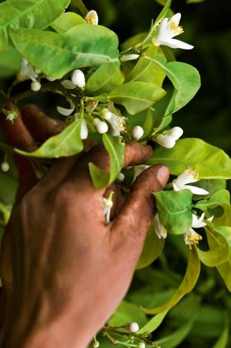 Neroli flowers being picked and selected, only six kilos of petals are picked per day. Cueillies une à une à la main, les fleurs tombent dans de vastes paniers doublés.