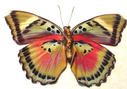 The Common Pink Forester (Euphaedra xypete) is a butterfly in the Nymphalidae family. It is found in Guinea-Bissau, Guinea, Sierra Leone, Liberia, Ivory Coast, Ghana, Togo, Nigeria and western Cameroon. The habitat consists of forests. Verso view