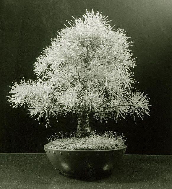 Bonsai… Japanese White Pine Bonsai Tree (Pinus parviflora) by Steve Greaves, via Flickr