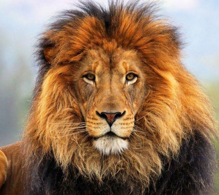 animale immagine - immagini occhi, sfondi faccia, pellicce vettore, sfondi leone, criniera materiale sfondo 1080x960 animale sfondo