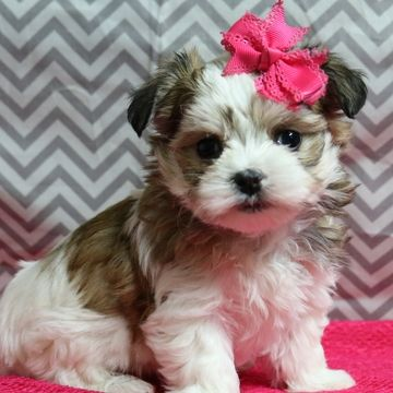 Morkie puppy for sale in NAVARRE, OH. ADN-59448 on PuppyFinder.com Gender: Female. Age: 6 Weeks Old