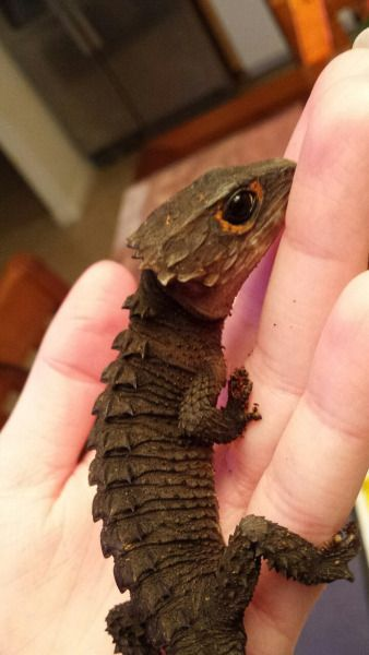 Red-eyed Crocodile Skink  oh my goodness, I want this, and I want it now!!! <3