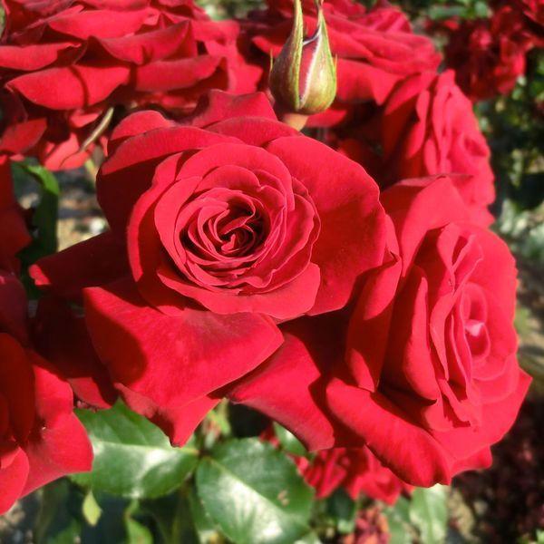 'Lubecker Rotspon'. Trosroos. Gevulde, spiraalvormige, bordeauxrode bloemen (8-10cm). Compacte struik. Vatbaar voor sterroetdauw. Geschikt voor potten. 60cm x 50cm.