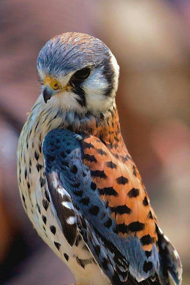 American kestrel  ( falco sparverious ) by Murray Mc Leod
