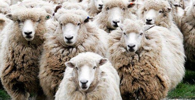 Resultado de imagem para rebanho de ovelhas