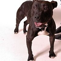 Columbus, Ohio - Pit Bull Terrier. Meet Dreidel, a for adoption. https://www.adoptapet.com/pet/20291312-columbus-ohio-pit-bull-terrier-mix
