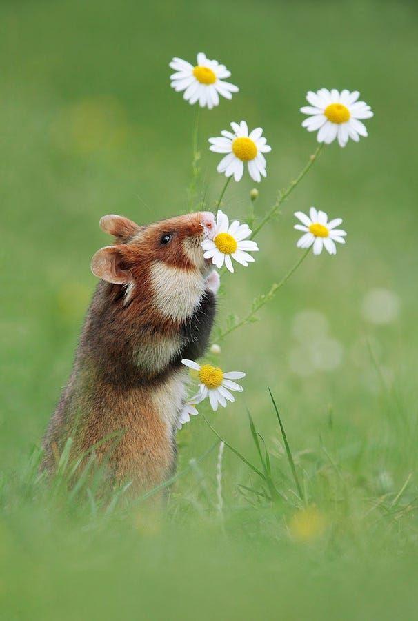 European Hamster by Julian Rad on 500px