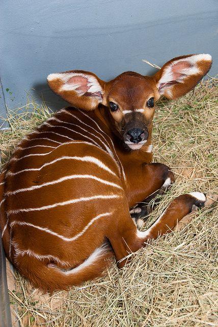 Cucciolo di Bongo Un'amabile bestiolina che sembra essere il frutto dell'unione fra un cervo ed una mucca. Non lasciarti però ingannare dalle sue dimensioni ridotte, una volta adulto, questo animale è più grande della maggior parte delle antilopi provenienti dalla foresta africana.