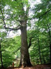 Chêne Saint Louis, forêt de Tronçais (Allier) | Krapo arboricole