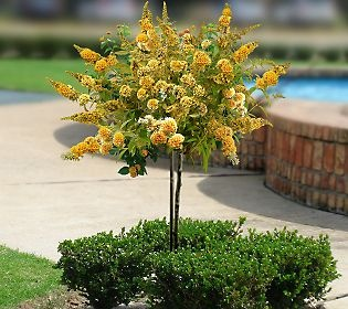 Butterfly Bush Patio Tree ~ Honeycomb  ~ <3 MineGardens Ideas, Gardens Creations, Bush Patios, Patios Trees, Flower Gardens, Butterflies Trees, Butterflies Bush, Gardens Indoor, Gardens Backyards